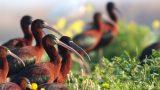 ציפור מגלן